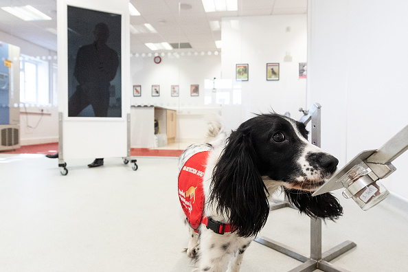 Sniff Dog「Medical Detection Dogs Are Being Re-trained To Help Identify Covid-19」:写真・画像(5)[壁紙.com]