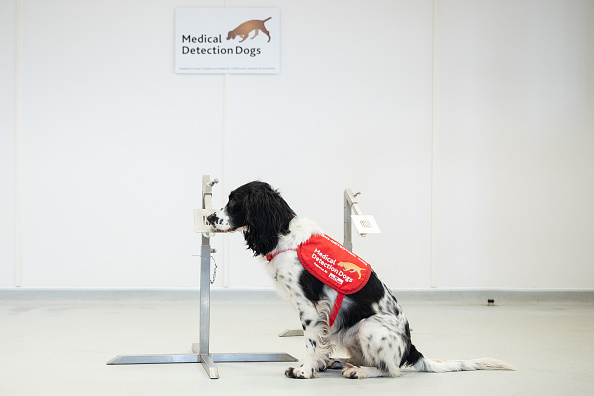 Sniff Dog「Medical Detection Dogs Are Being Re-trained To Help Identify Covid-19」:写真・画像(1)[壁紙.com]