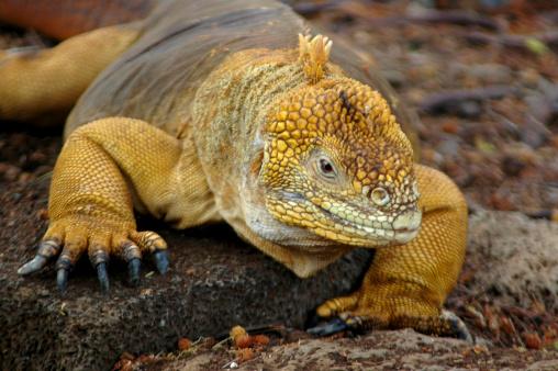 ガラパゴス諸島「リクイグアナ、Conolophus subcristatus」:スマホ壁紙(14)