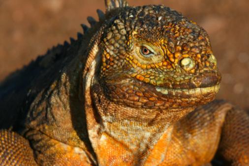 Latitude「Land Iguana」:スマホ壁紙(3)