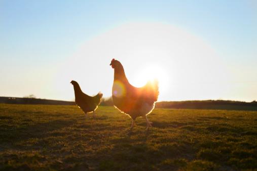 Females「Two free-range chickens at sunrise.」:スマホ壁紙(10)