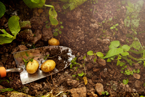 Homegrown Produce「Home grown potatoes from a greenhouse.」:スマホ壁紙(19)