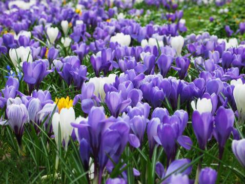 April「Purple, white and yellow Crocus」:スマホ壁紙(10)