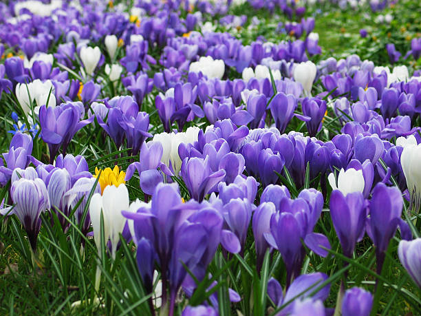 Purple, white and yellow Crocus:スマホ壁紙(壁紙.com)