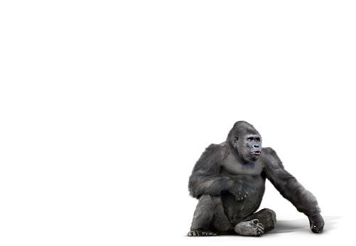 Gorilla「Gorilla sitting in studio」:スマホ壁紙(1)