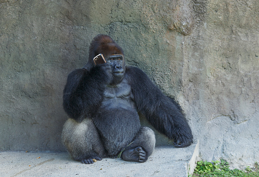 Zoo「Gorilla sitting against stone wall using cell phone」:スマホ壁紙(4)