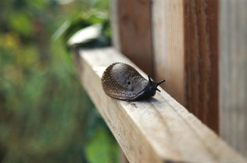 ナメクジ「Garden Slug」:スマホ壁紙(12)