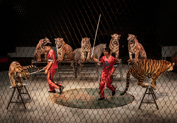 動物「China's Siberian Tiger Farm」:写真・画像(5)[壁紙.com]