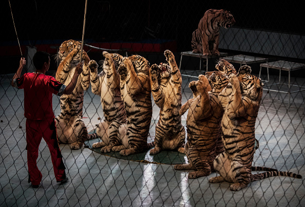 Wilderness Area「China's Siberian Tiger Farm」:写真・画像(4)[壁紙.com]