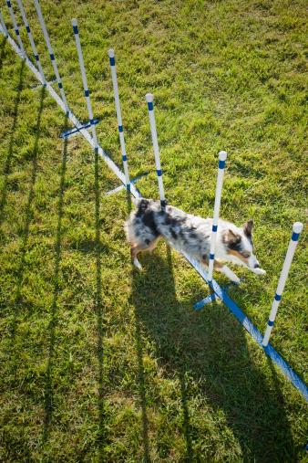 Dog Agility「Dog running through weave poles on agility course」:スマホ壁紙(14)