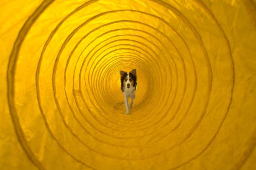Dog Agility「Dog running through agility tunnel」:スマホ壁紙(5)