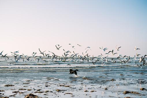 Ijmuiden「Dog running on beach chasing a flock of birds, IJmuiden, Holland」:スマホ壁紙(9)