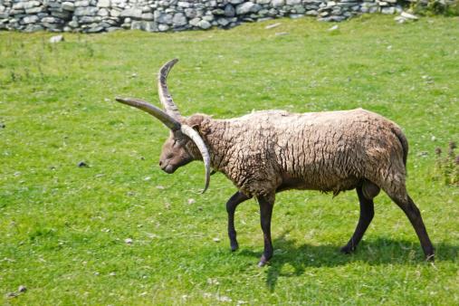 マン島「Manx sheep, Cregnesh, Isle of Man.」:スマホ壁紙(11)