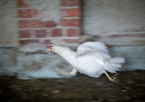 Hen「Organic egg farm chicken runs.」:スマホ壁紙(1)
