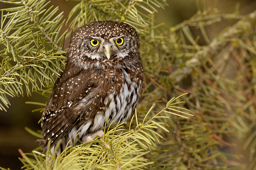 小枝「Northern Pygmy Owl (Glaucidium californicum) sitting on tree, Montana, USA」:スマホ壁紙(10)