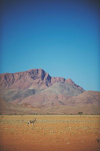 Safari「Zebra in Desert scene」:スマホ壁紙(12)