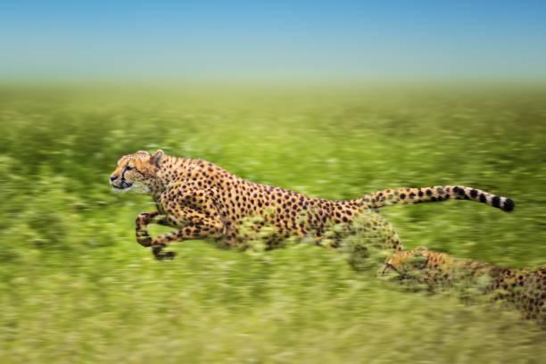 running cheetahs:スマホ壁紙(壁紙.com)