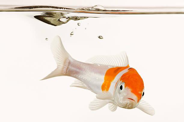 Koi fish underwater:スマホ壁紙(壁紙.com)