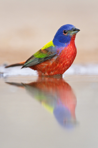 Bunting「Male painted bunting」:スマホ壁紙(18)