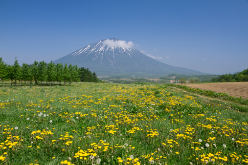たんぽぽ「Mount Yotei and Field of Dandelions」:スマホ壁紙(13)