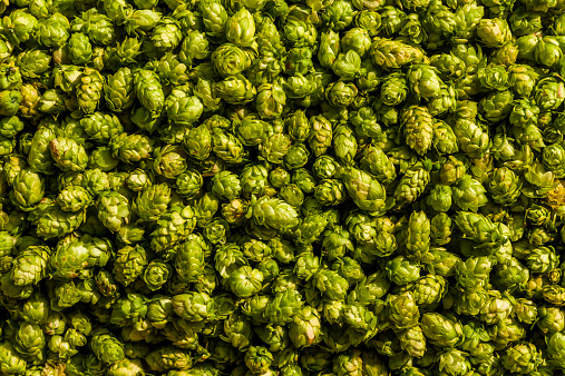 Crop - Plant「Harvested hops」:スマホ壁紙(13)