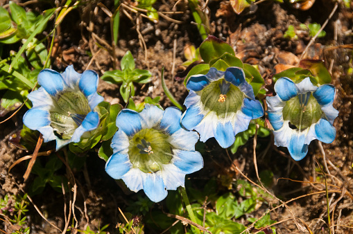 Khumbu「Gentiana sino-ornata (Chinese gentian) wildflowers」:スマホ壁紙(12)