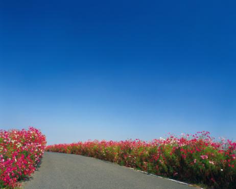 コスモス「Flower-lined country road」:スマホ壁紙(1)