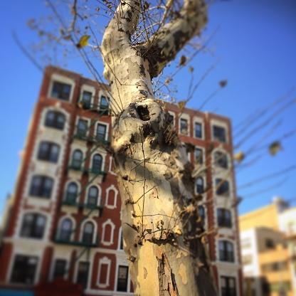 セイヨウカジカエデ「Chinatown sycamore tree」:スマホ壁紙(12)