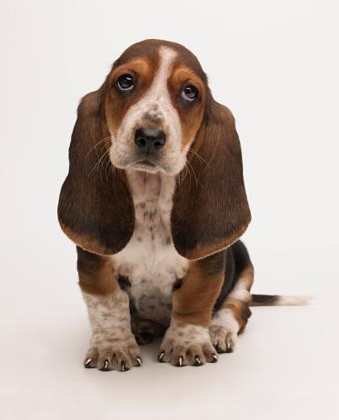 Baby animal「Sad bassett puppy」:スマホ壁紙(11)