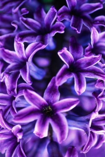 Keukenhof Gardens「Blue hyacinth (Liliaceae) flowers, full frame」:スマホ壁紙(11)