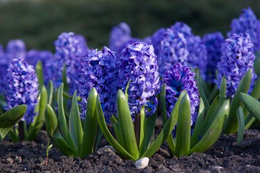 Hyacinth「Blue hyacinth」:スマホ壁紙(1)