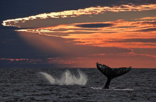 クジラ「ジャンプコククジラの夕暮れ」:スマホ壁紙(16)