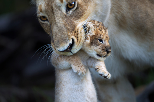Animal Whisker「Lioness picking up a cub in her mouth」:スマホ壁紙(5)