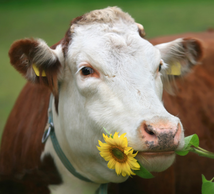 Eating「Cow with sunflower in her mouth」:スマホ壁紙(7)