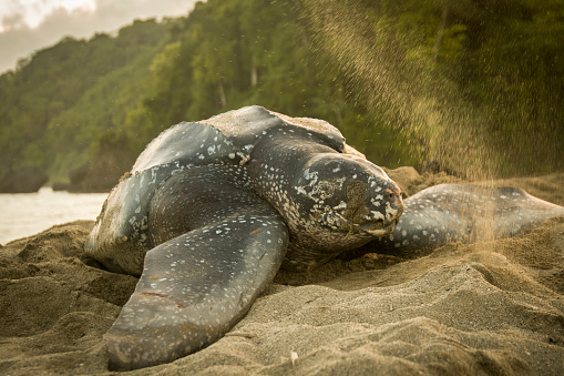 Green Turtle「Turtle Nesting」:スマホ壁紙(12)