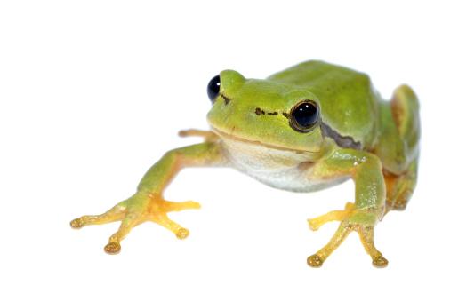 Tree Frog「Tree-frog on white background - close-up」:スマホ壁紙(11)