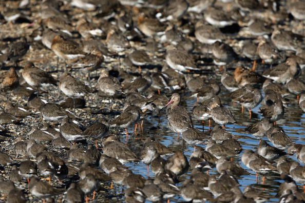 The Way Forward「The Snettisham Spectacular As High Tides Cause Thousands Of Birds To Take Flight」:写真・画像(15)[壁紙.com]