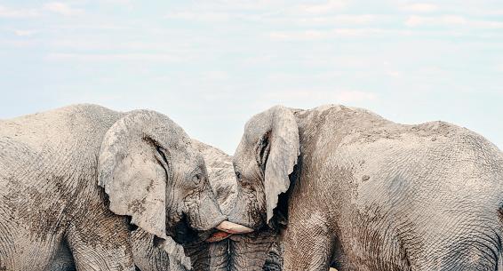 象「ナミビア ・ エトーシャ国立公園で付き合い、一緒に 3 つの象」:スマホ壁紙(16)