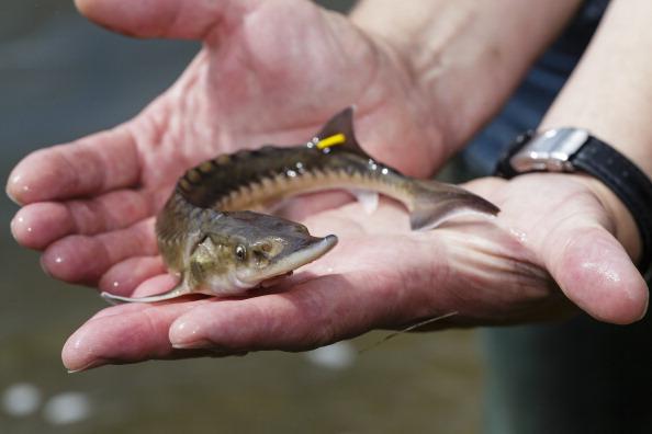 Environmental Conservation「Scientists Seek To Reintroduce European Sturgeon In Northern Germany」:写真・画像(14)[壁紙.com]