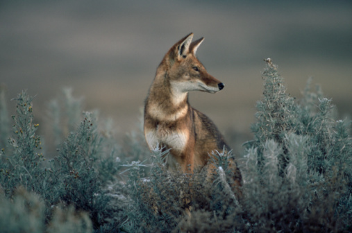 Animals Hunting「Ethiopian Wolf (Canis Simensis) looking over shoulder」:スマホ壁紙(13)