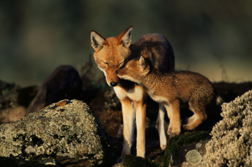 Animals Hunting「Ethiopian Wolf adult nuzzling pup」:スマホ壁紙(6)