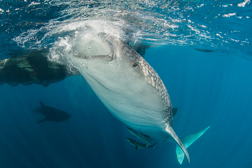 Whale shark「Large whale shark siphoning water from the surface.」:スマホ壁紙(17)
