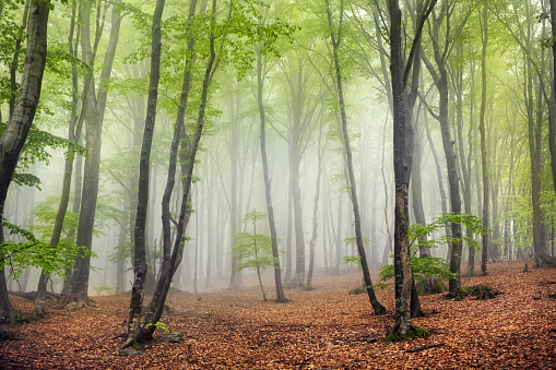 Switzerland「Foggy beech forest」:スマホ壁紙(5)