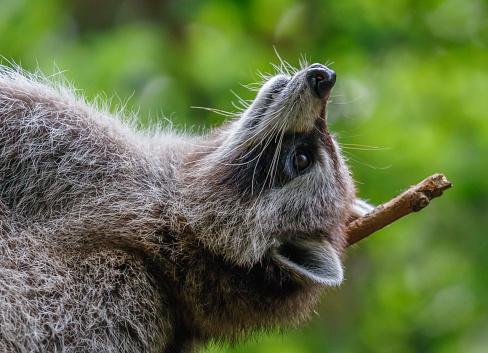アライグマ「Raccoon relaxing on his back」:スマホ壁紙(19)