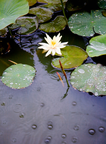 Water Lily「Water lillies on pond in the rain」:スマホ壁紙(9)
