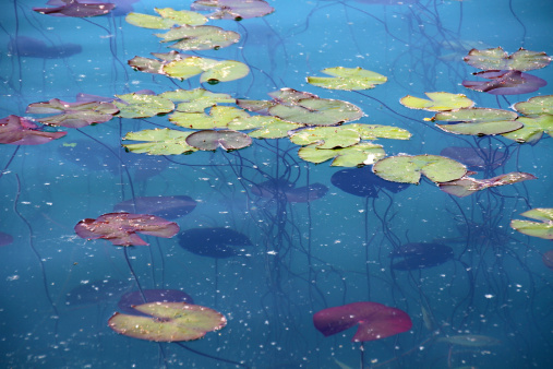 Water Lily「water lillies leaves」:スマホ壁紙(2)
