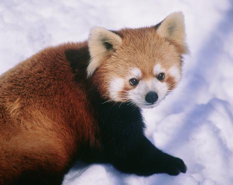 パンダ「Lesser panda. Kushiro Zoo, Hokkaido Prefecture, Japan」:スマホ壁紙(11)