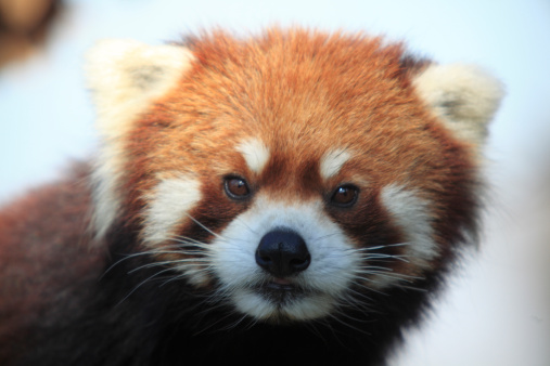 パンダ「Lesser Panda」:スマホ壁紙(14)