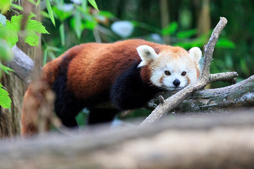 パンダ「lesser panda」:スマホ壁紙(5)