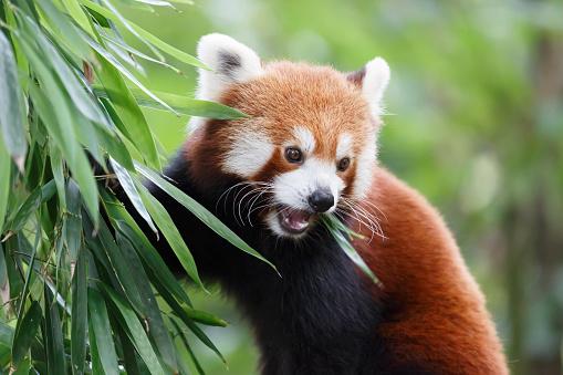 パンダ「lesser panda」:スマホ壁紙(6)